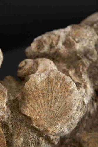 Bivalva blocco fossilifero Genoni