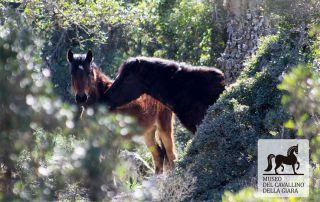 Coppia cavalli della Giara