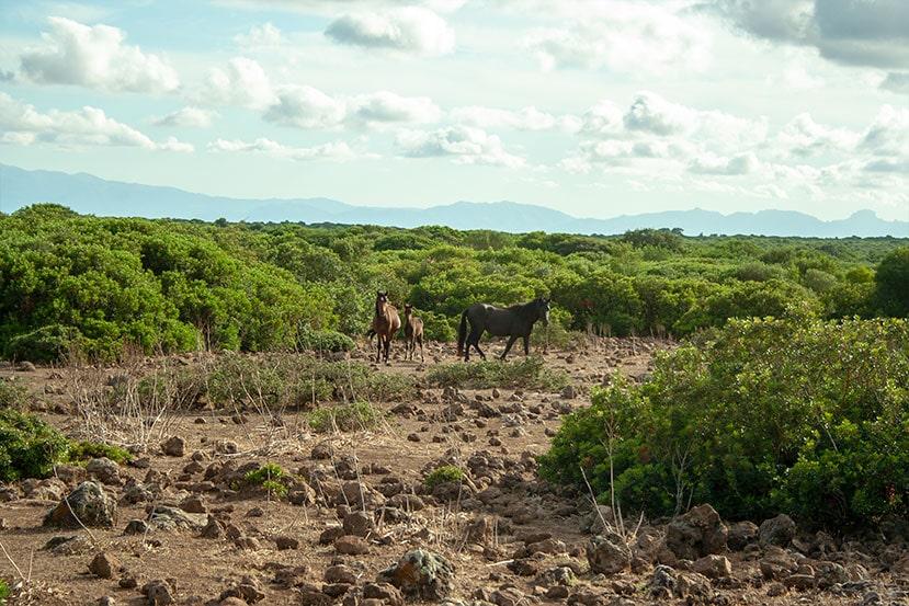 Cavalli della Giara a Genoni