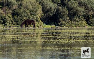 Giara horse in the water
