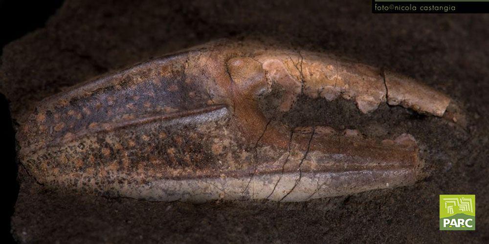 Fossile chela di granchio Genoni