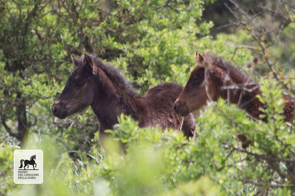 Giara foals