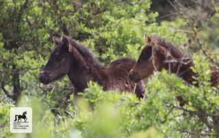 couple foals in giara park