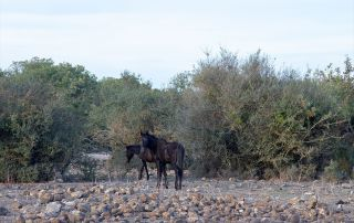Giara wild horses