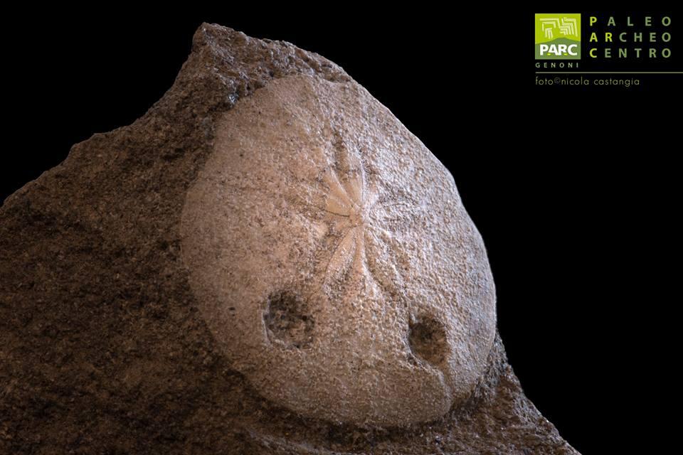 Fossile Amphiope PARC Genoni