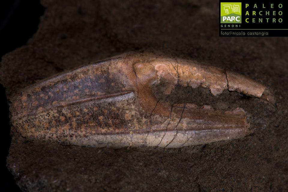 Fossile chela di granchio PARC Genoni