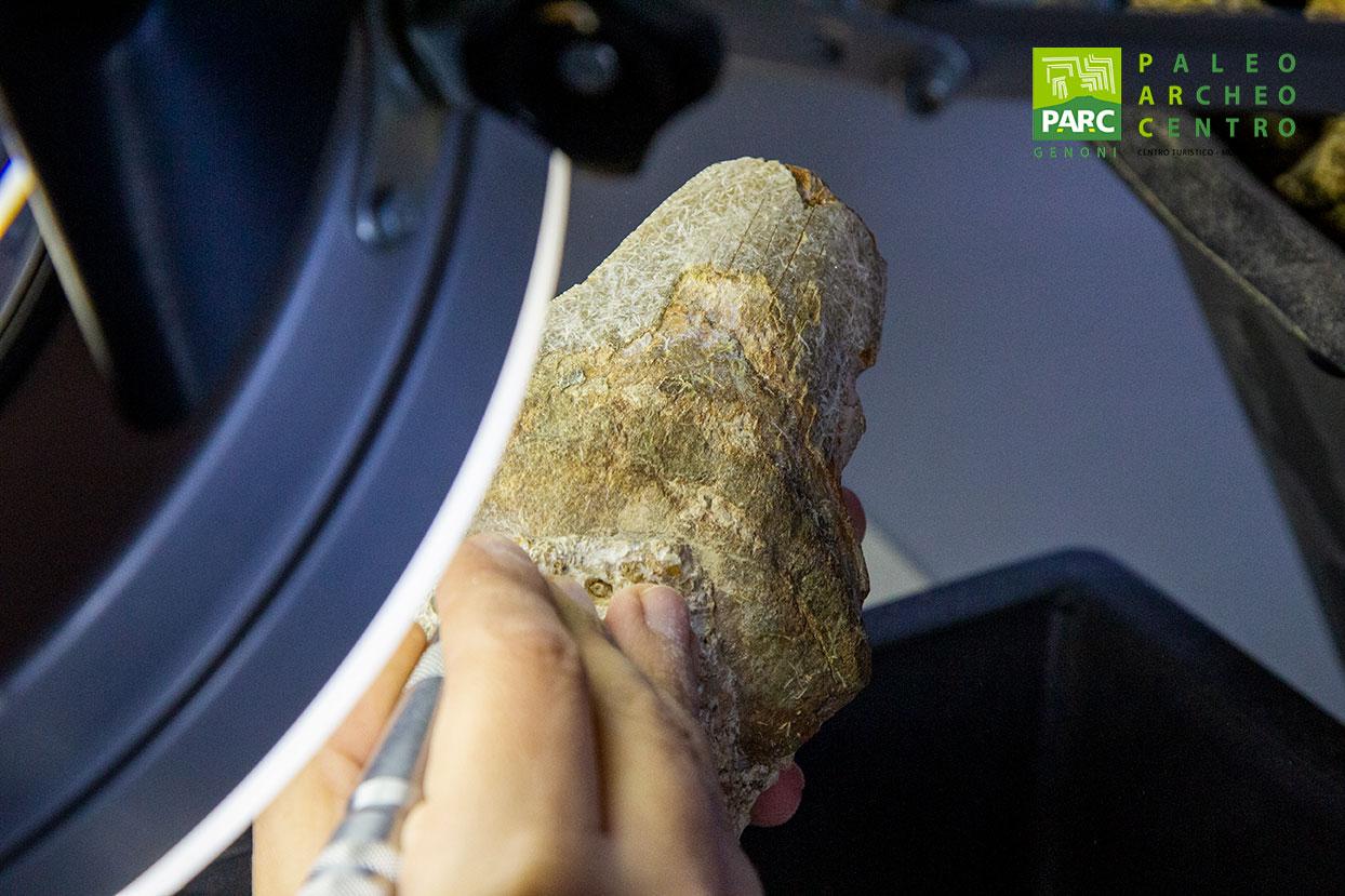 Dente fossile di megalodonte durante la preparazione