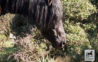Black stallion in the Giara park in Genoni