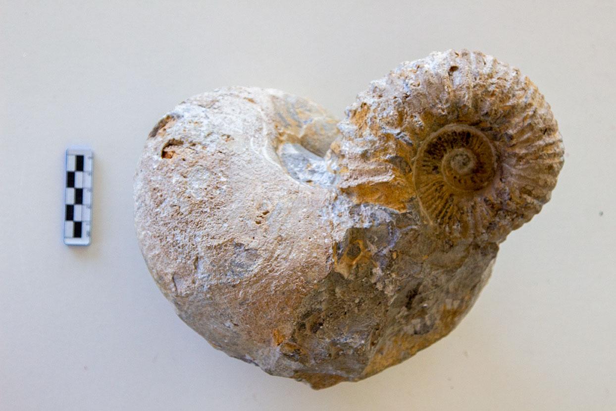 Fossili di nautilus e ammonite