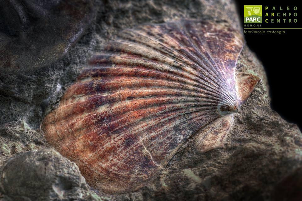 Fossile di bivalva